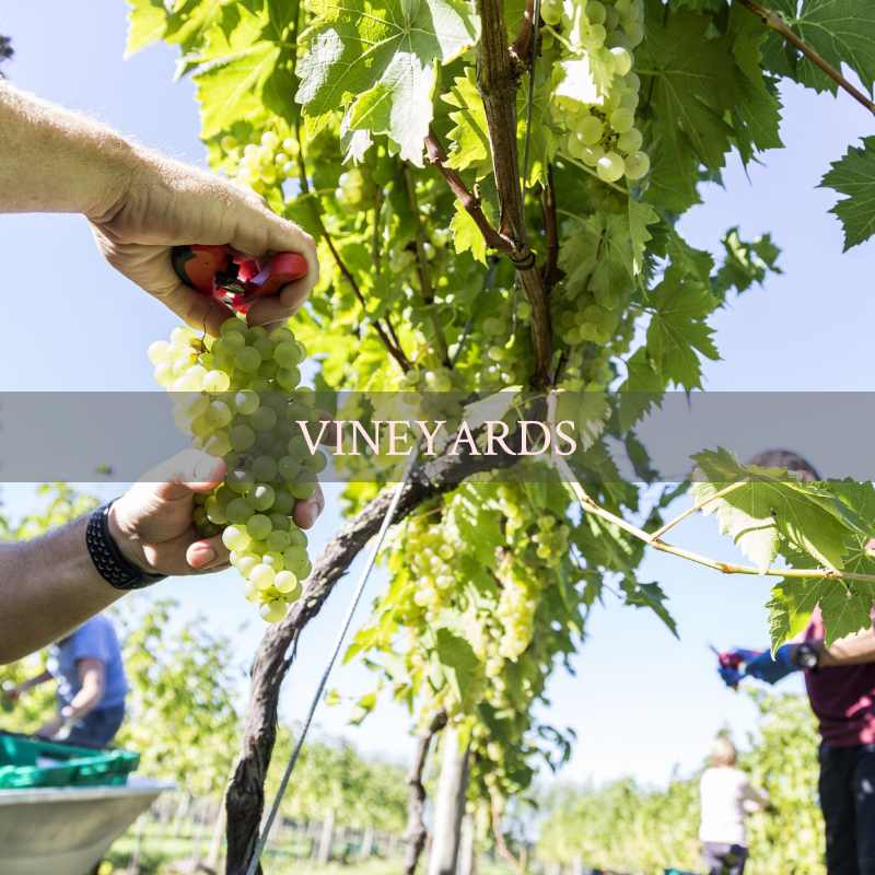 Vineyard near Weston super Mare