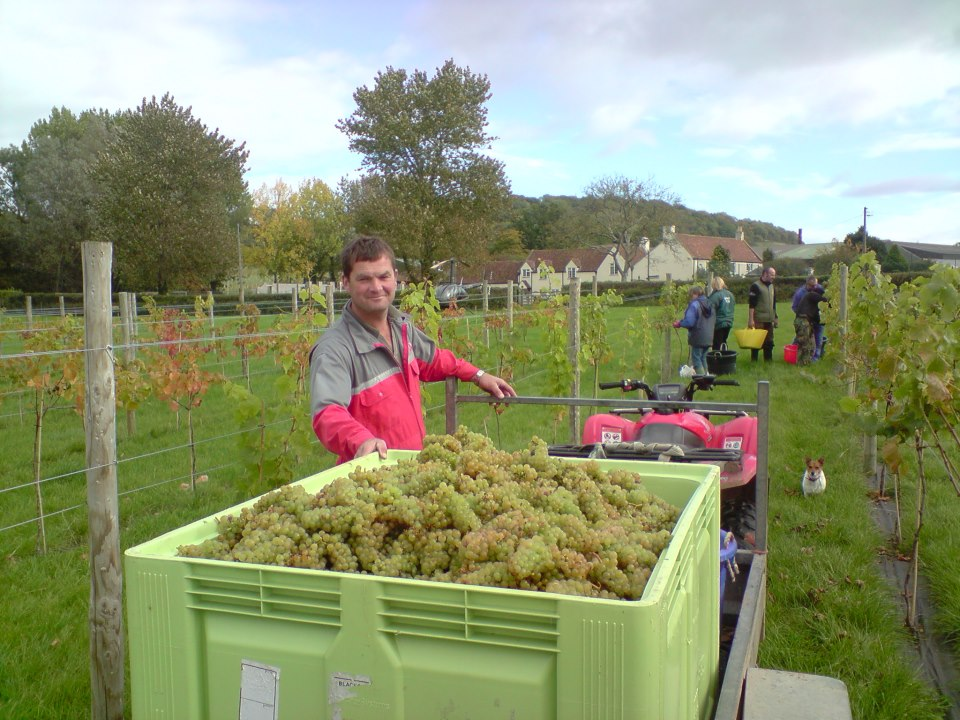 Picking grapes at Aldwick estate vineyard